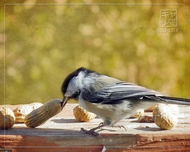 Chickadee Feast