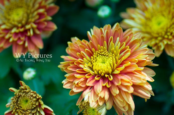 Chrysanthemum fireworks