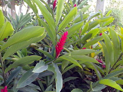 evergreen, shrub, flower, leaf, tree, ti plant, plant, flora, jungle,