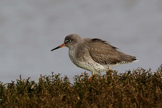 Redshank hunting   Orwell 5.12. 2013 PART 2 (1)