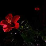 1877-red flower