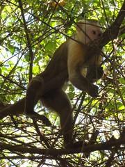 macaque(0.0), animal(1.0), rainforest(1.0), branch(1.0), monkey(1.0), mammal(1.0), fauna(1.0), spider monkey(1.0), old world monkey(1.0), new world monkey(1.0), jungle(1.0), wildlife(1.0),