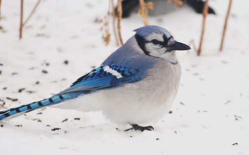 blue winter snow cold nature birds jay snowy january feathers fluffy aves bluejay puffed jennypansing