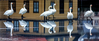 Whooper Swans on Ice