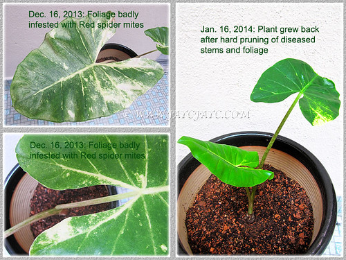 Collage showing the revival of our Varieged Alocasia from infestation of red spider mites