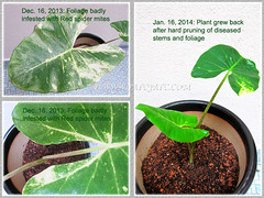 Resurrection of our Alocasia macrorrhizos 'Variegata' (Variegated Giant Alocasia/Taro, Variegated Upright Elephant Ears) after infestation by red spider mites, Jan 16 2014