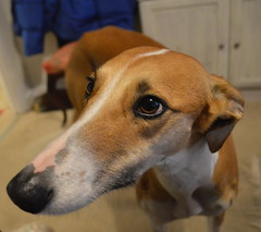 dog breed, animal, hound, dog, whippet, galgo espaã±ol, pet, italian greyhound, greyhound, carnivoran,