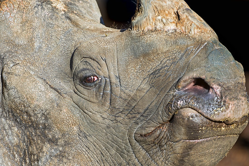 Closeup of a male rhinoceros