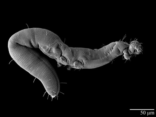 Under the microscope: a worm-like mite species Osperalycus tenerphagus