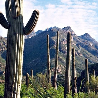 Stand of Saguaro Cacti, Tucson, Arizona.
