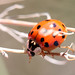Nine-spot Ladybird (Jim Higham)