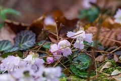イワウチワ・・・沢山咲いてます@標高650m付近群生地