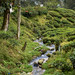 Stream through tea plantation