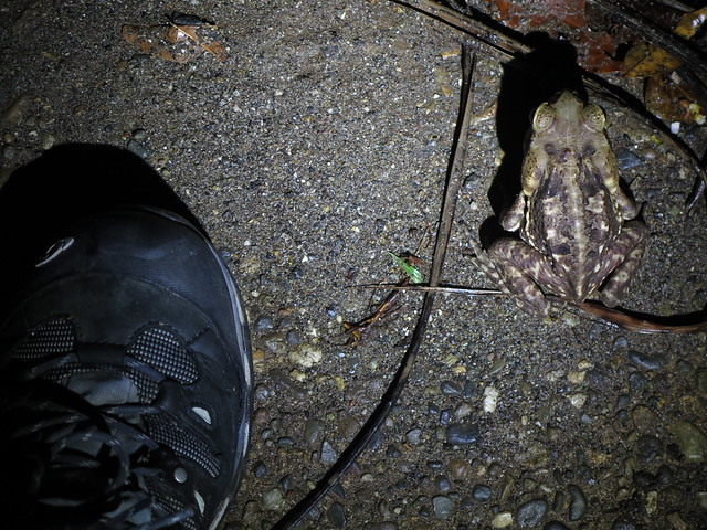 Cane Toad (with hiking boot for scale); 20170426; PA-Colón-Gamboa