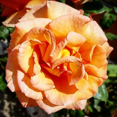 #rose #flower #garden #spring