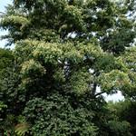 Albizia chinensis tree