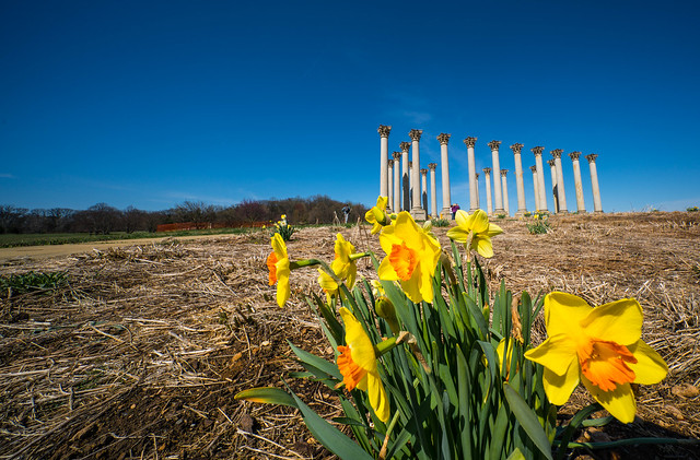 daffodils and the Capitol Columns