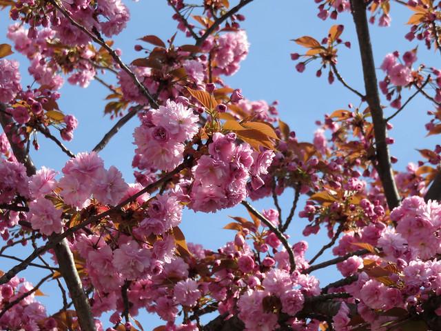 Pink Blossom, Canon POWERSHOT SX700 HS