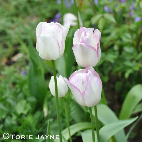 Tulip Gwen