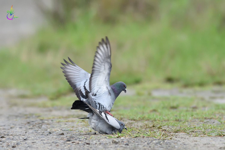 Pigeon_1794