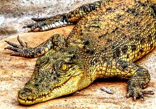 Philippine crocodile at Palawan, Philippines
