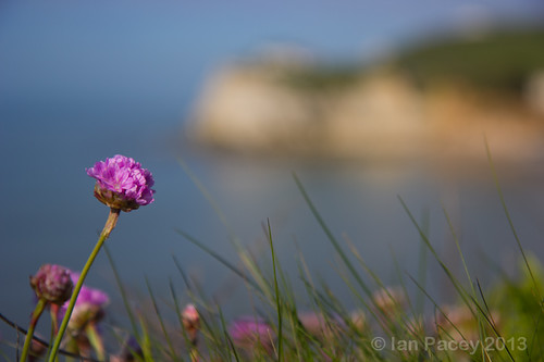 Thrift at Freshwater Bay