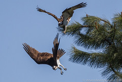 Osprey battle, Lincoln, Oregon