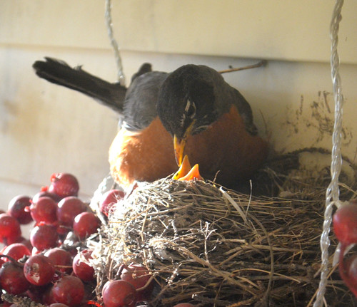 Robin feeding the babies