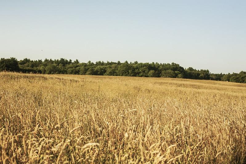 fieldsofwheat