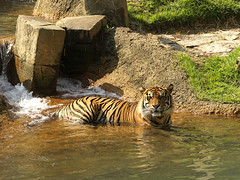 Siberian Tiger 08-28-2008 83