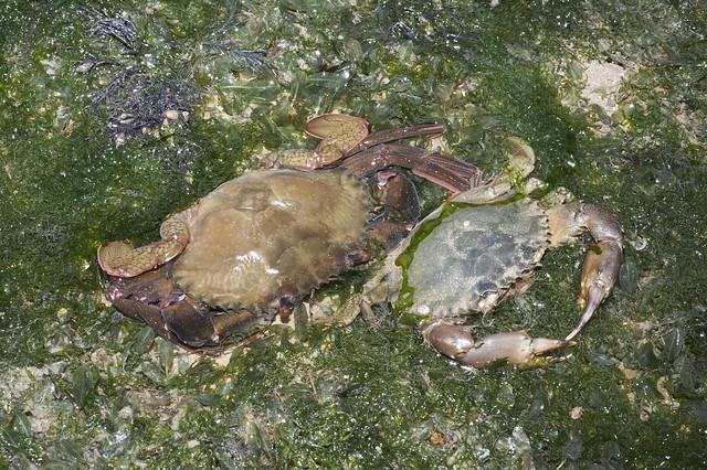 Mud crab (Scylla sp.) moulting