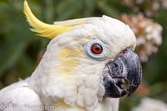 cockatoo, animal, parrot, sulphur crested cockatoo, fauna, close-up, cockatiel, beak, bird, wildlife,
