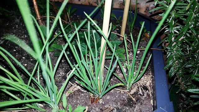 shallot planting in upstairs courtyard by dunia
