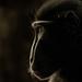 Macaca Nigra by Bastiaan Schuit