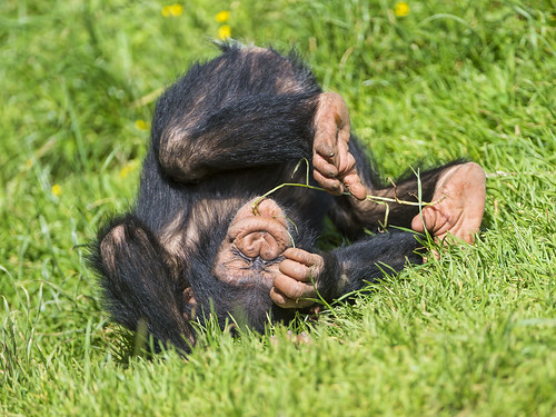 Funny rolling baby chimp by Tambako the Jaguar