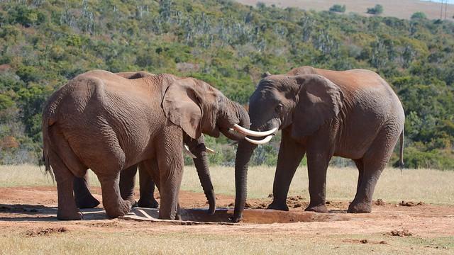 African Elephants [Loxodonta africana]