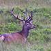 Red Deer (Alain Verstraete)