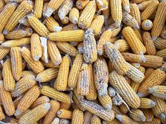 Sat, 07/25/2009 - 07:39 - Aspergillus on cracked maize.