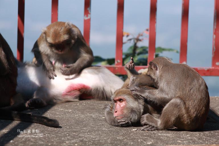 台南私藏景點-南化烏山獼猴 (15)
