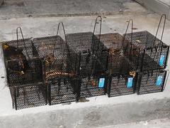 捕抓食蛇龜的陷阱籠,圖片來源:翡翠水庫管理局