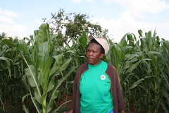 Sophie Mabhena is embracing the South African government's policy to implement biotechnology in farming by growing genetically modified maize, but anti-GM experts caution that this does not necessarily lead to food security. Credit: Busani Bafana/IPS
