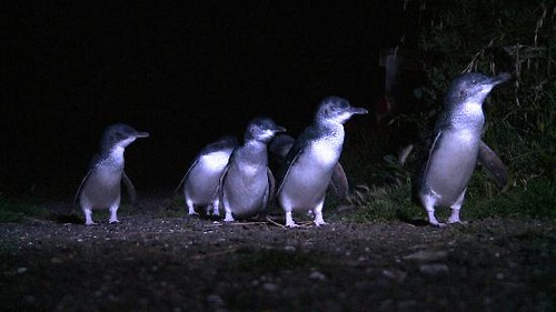 bicheno-penguin-tours