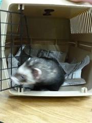 animal, weasel, pet, mammal, animal shelter,