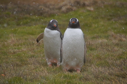 323 Ezelspinguins
