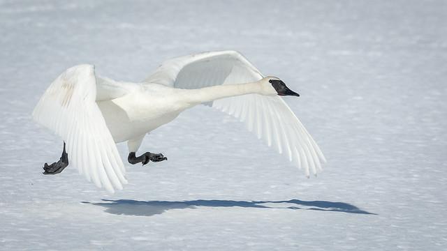 Ed Post - Trumpeter Swan (Cygnus buccinator)
