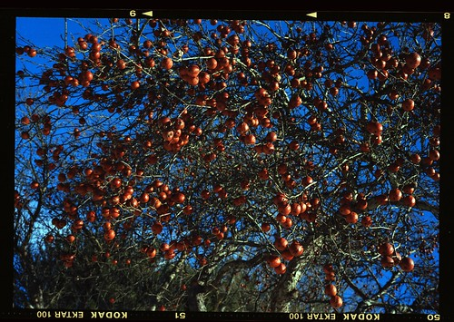 Crabapples, Edinburg N.Y.