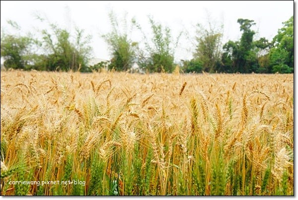 Wheat Farm (7)