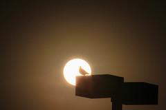 bird eclipse