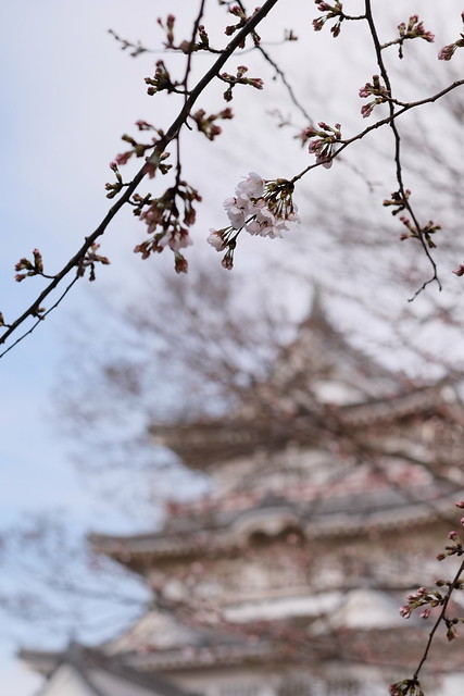 Sakura with bokeh castle