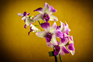 Orchid / Orchideen